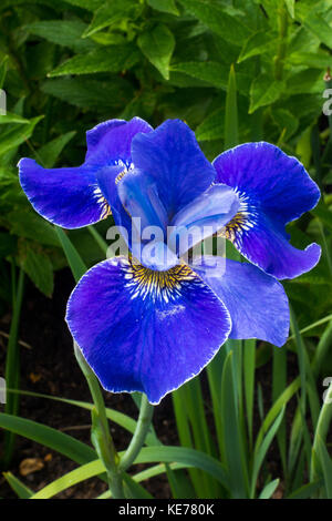 Blue Iris sibirica - Silver Edge - Stock Photo