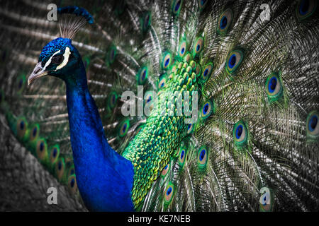Close-Up Of A Peacock Displaying It's Plumage; Victoria, British Columbia, Canada - Stock Photo