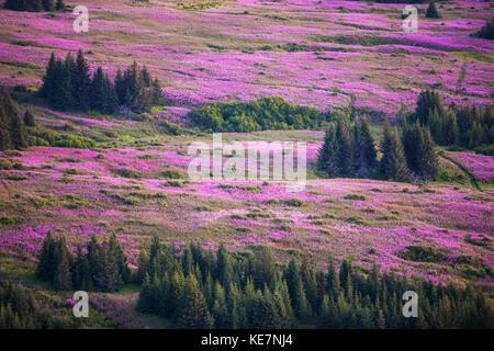 Field Of Fireweed (Chamaenerion Angustifolium); Alaska, United States Of America - Stock Photo