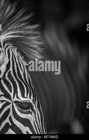 Close-Up Of Grevy's Zebra (Equus Grevyi) Eye And Mane; Cabarceno, Cantabria, Spain - Stock Photo
