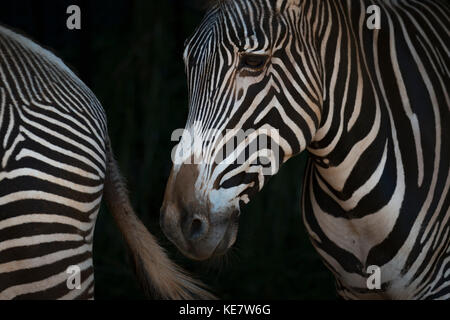 Close-Up Of Grevy's Zebra (Equus Grevyi) Head And Hindquarters; Cabarceno, Cantabria, Spain - Stock Photo