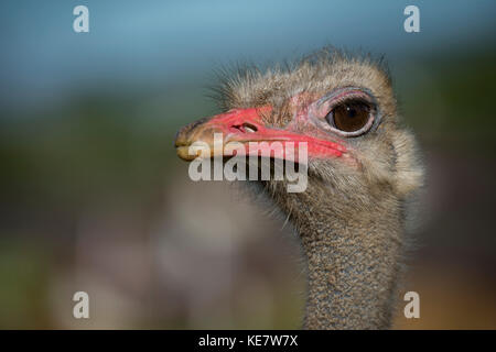 Close-Up Of Ostrich (Struthio Camelus) Against Blurred Background; Cabarceno, Cantabria, Spain - Stock Photo