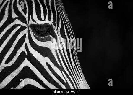 Close-Up Of Grevy's Zebra (Equus Grevyi) Face In Profile Against A Black Background; Cabarceno, Cantabria, Spain - Stock Photo