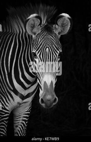 Close-Up Of Grevy's Zebra (Equus Grevyi) Looking At Camera Against A Black Background; Cabarceno, Cantabria, Spain - Stock Photo