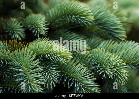 Close-Up Of Norway Spruce (Picea Abies) Needles, A Popular Choice With Landscapers In The Pacific Northwest; Astoria, - Stock Photo