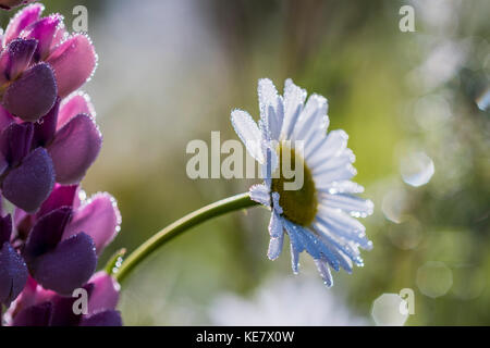 Flowers Sparkle With Dew On A Spring Morning; Astoria, Oregon, United States Of America - Stock Photo