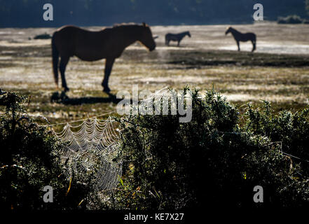 Three New Forest horses stand in the early morning Autum  glow,  warming up as the sun rises with a spider web in - Stock Photo