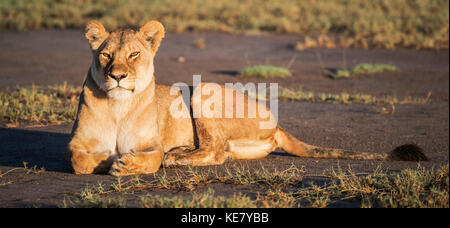 Lion (Panthera Leo) Laying In The Sun; Tanzania - Stock Photo