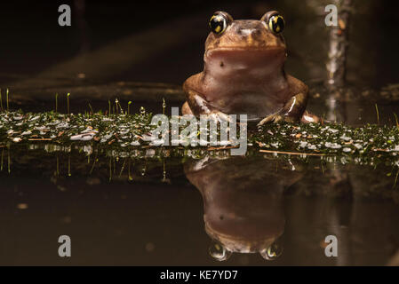 A Eastern Spadefoot toad sitting on a branch in the swamp with the water perfectly reflecting it below. - Stock Photo