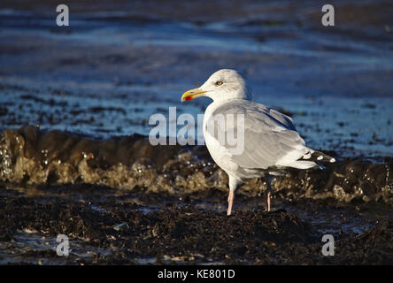 Adult herring gull lit by bright sunlight standing on the beach near the flood line - Stock Photo