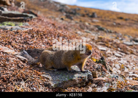 An arctic ground squirrel (Spermophilus parryii) near the Savage Alpine Trail in Denali National Park; Alaska, United - Stock Photo