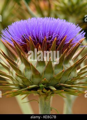 Splendid flower of wild artichoke in foreground, Cynara cardunculus - Stock Photo