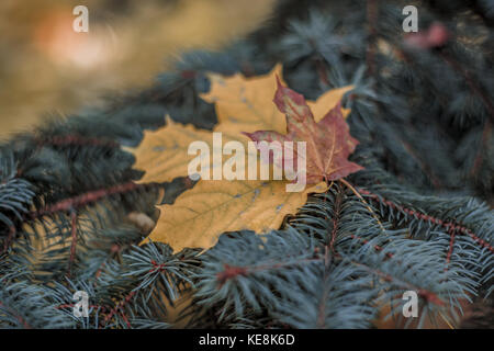 Two lonely maple leaves on a fir branch. Autumn-witer composition. - Stock Photo