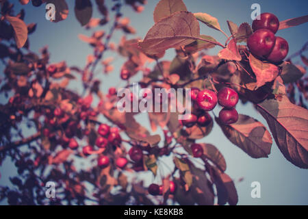 Little Red Apples On A Tree, Beautiful Photo - Stock Photo