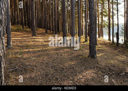 Autumn pine forest on the shore of the lake lit by sunlight. - Stock Photo