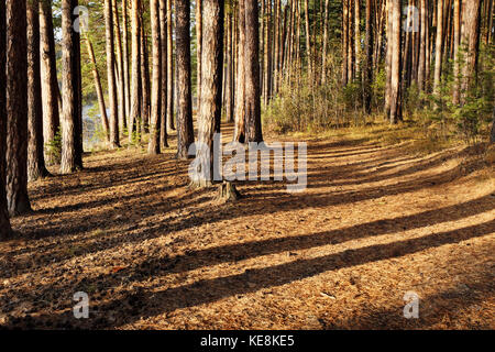 Autumn pine forest on the shore of the lake - Stock Photo