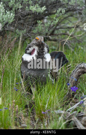 Dusky grouse during spring breeding season in Yellowstone National Park - Stock Photo