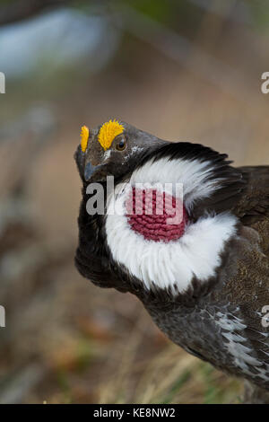 Blue or Dusky grouse during mating season in Yellowstone National Park - Stock Photo