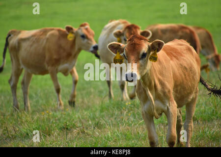 Cows in a field with beautiful green grass.  The cows have identification tags in their ears.  Some of the cows - Stock Photo