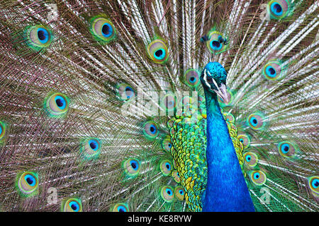 Peacock Glory. The spectacular feathers of the peacock - a showy bird that seems to know how beautiful it is. Magnificent - Stock Photo