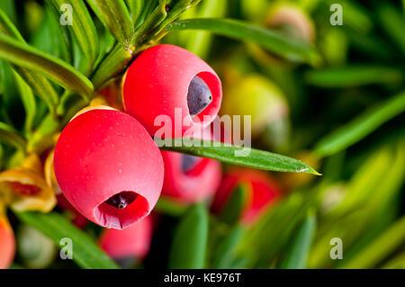 Yew twig close-up of ripe fruits closeup - Stock Photo