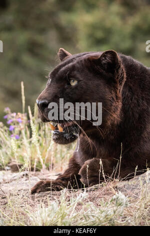 Black panther panting on a hot day near Bozeman, Montana, USA.  A black panther in the Americas is the melanistic color variant of black jaguars (Pant
