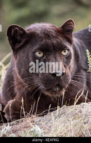 Black panther reclining, but very alert, near Bozeman, Montana, USA.  A black panther in the Americas is the melanistic color variant of black jaguars