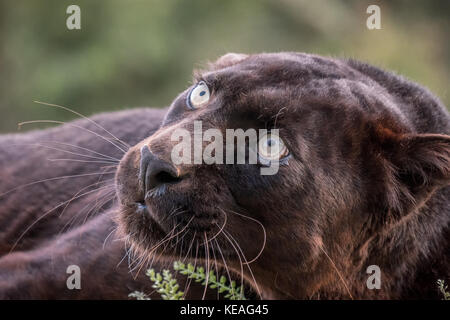 Black panther snarling a warning near Bozeman, Montana, USA.  A black panther in the Americas is the melanistic - Stock Photo