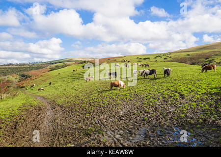 A variety of ponies grazing in a field near Meldon Reservoir, Meldon, Dartmoor, Devon, UK. - Stock Photo