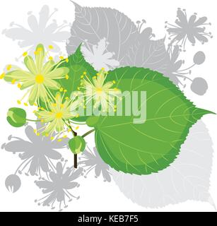 Linden flowers with leafs, blooming tree - Stock Photo