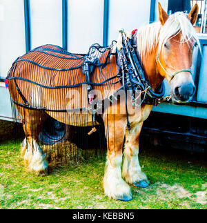 Big Beauty. Work horse for cutting bracken in Hastings Country Park. Helps prevent cattle eating too much bracken - Stock Photo