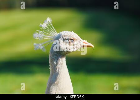 Portrait of albino Peacock at Wallenstein Garden in Prague, Czech Republic - Stock Photo