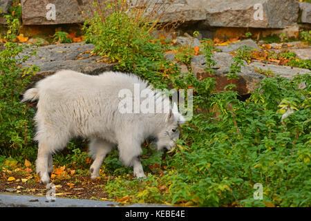 Mountain goat (Oreamnos americanus), also known as Rocky Mountain goat. Kid - Stock Photo