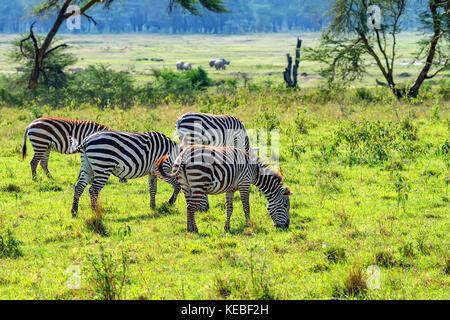 Zebras grazing in savanna - Stock Photo
