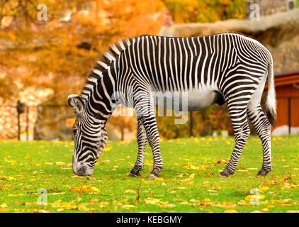 Grevy zebra (Equus grevyi), also known as imperial zebra in Indian summer - Stock Photo