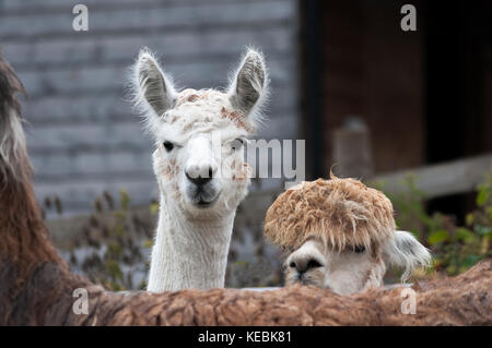 Two huacaya alpacas, scientific name Vicugna pacos, looking over the back of a llama. - Stock Photo