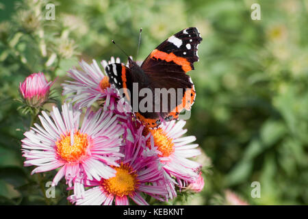 Red Admiral Butterfly on a Pink Daisy
