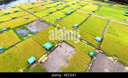 (171020) -- SANJIANG, Oct. 20, 2017 (Xinhua) -- Farmers harvest ratooning rice in the field at Dashu Village of - Stock Photo