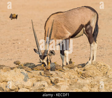 A gemsbok drinking with Namaqua Sandgrouse in the Kgalagadi Transfrontier Park, which straddles South Africa and - Stock Photo