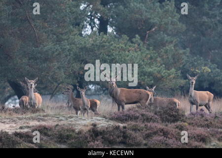 Group of red deer during rutting season in Pine forest with heather, Veluwe, Netherlands, October 9 2017 - Stock Photo