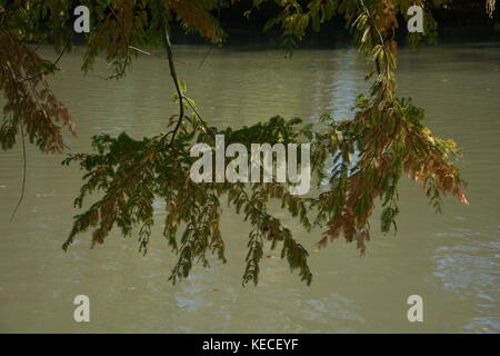Foliage in autumn hangs on a branch over a lake - Stock Photo