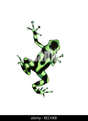 The green-and-black poison dart frog  isolated on white background - Stock Photo