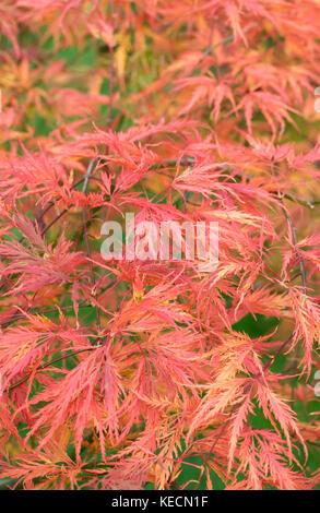 Acer palmatum dissectum 'Green globe' leaves in Autumn. - Stock Photo