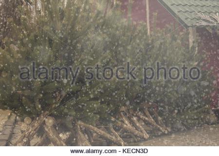 A row of fresh cut Christmas tree on sale Stock Photo, Royalty ...