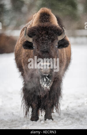 American bison (Bison bison) standing in the snow - Stock Photo