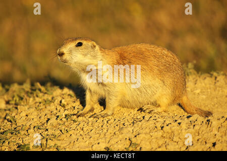 A portrait of a Black-tailed Prairie Dog basking at sunset in the Badlands. - Stock Photo