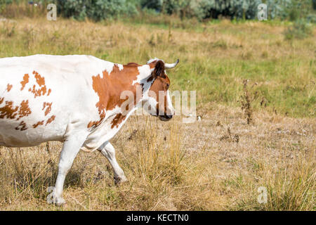 Beautiful brown and white spotted cow grazing at dry yellow autumn  steppe meadow. - Stock Photo