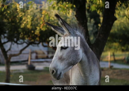 Gray donkeys in the open air - Stock Photo