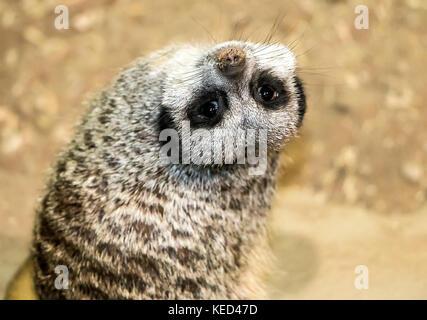 Meerkat, looking backwards - Stock Photo