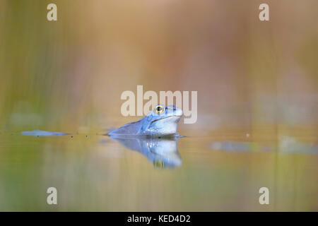 Moor frog (Rana arvalis), male, blue coloured during mating season in spawning waters, Thuringia, Germany - Stock Photo